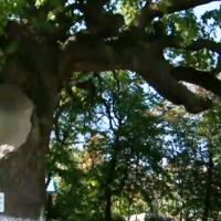 Stejarul lui Ştefan cel Mare de la Cobîlea